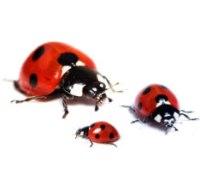 ladybug-larvae